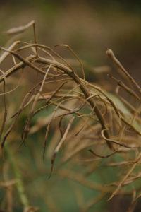 Tiges de choux portant ses graines matures dans des cosses protectrices.