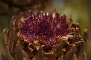 Fleur fanée d'artichaut. Les semences sont à l'intérieur !