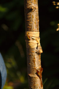 Ligature de la greffe avec le raphia - Greffe d'Août