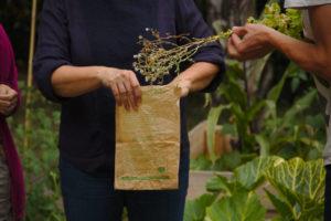 Récolte et empaquetage dans un sac, des tiges de salades portant les graines.