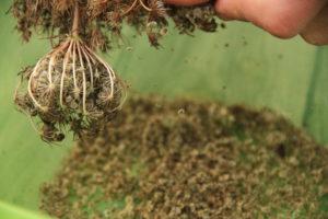 Extraction des semences à la main.