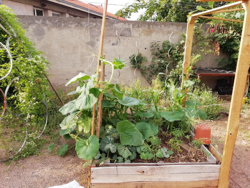 Premier bac, rempli de courges, maïs, haricots, tomates, betteraves, verveine et romarin