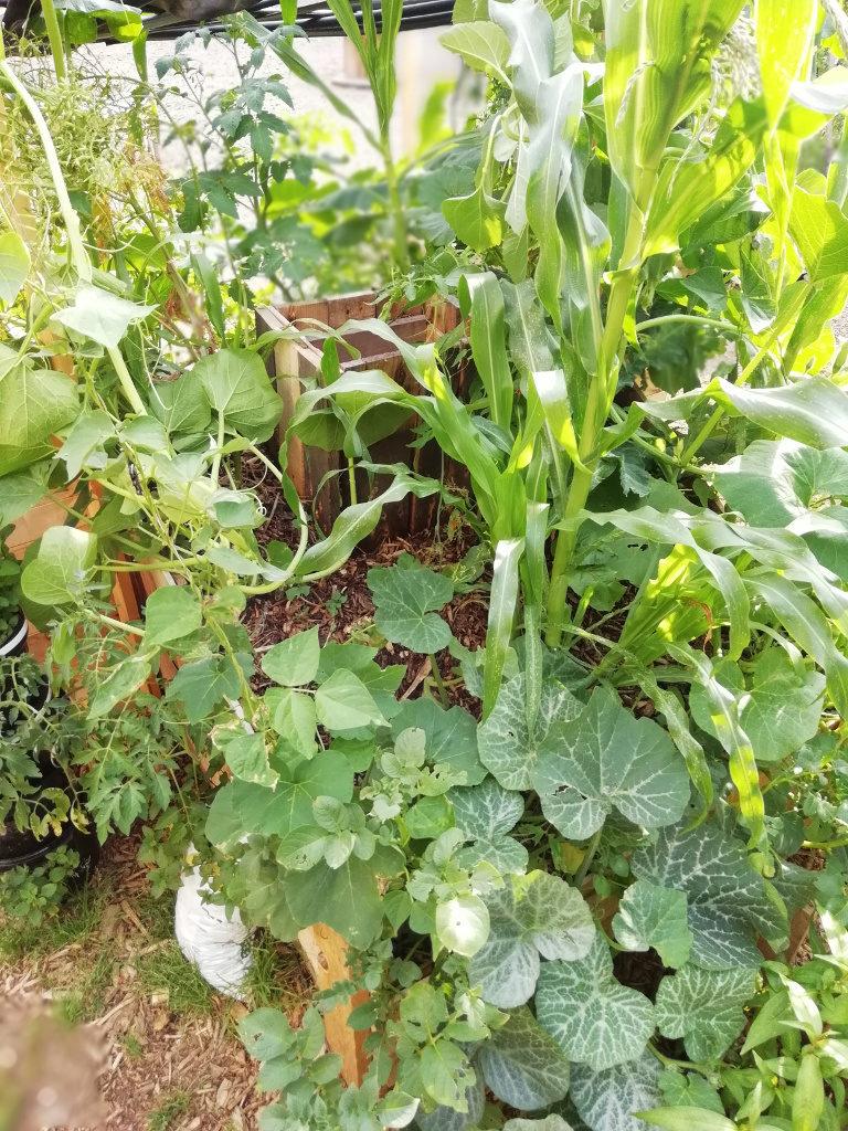 La profusion de plantes et la vigueur sont au rendez-vous dans le potager!