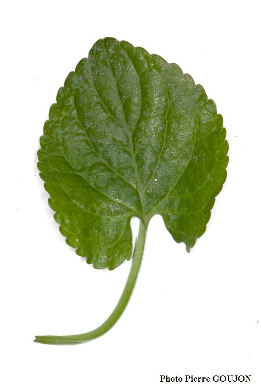Détail des feuilles de la plante recherchée