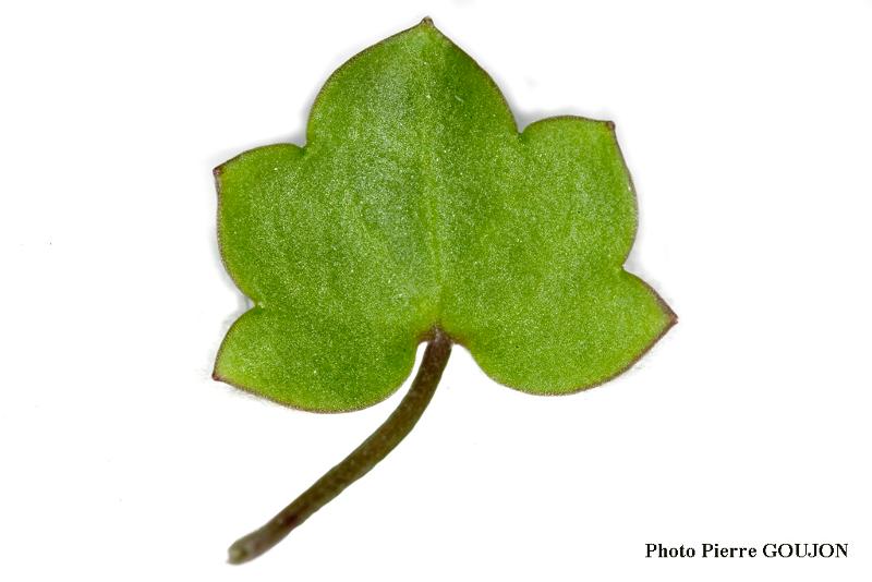 Détail des feuilles de la plante recherchée (5)