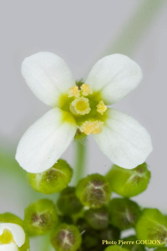 Partie florale de la plante recherchée (3)